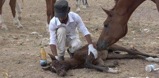جريمة العدوان بحق خيول عربية أصيلة